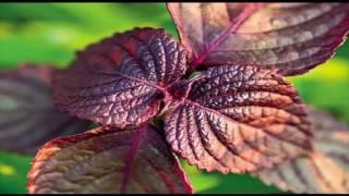 Базилик мятолистный. Лекарственные травы