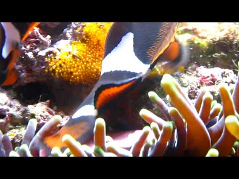 Spawning Onyx Clownfish Pair