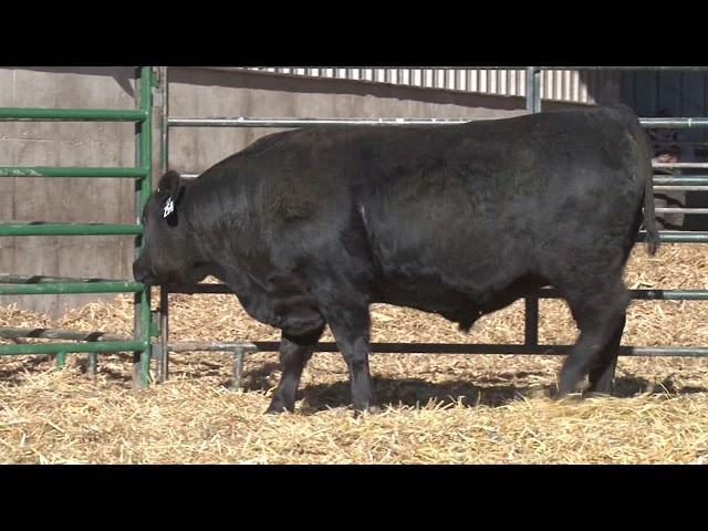Schiefelbein Angus Farms Lot 254