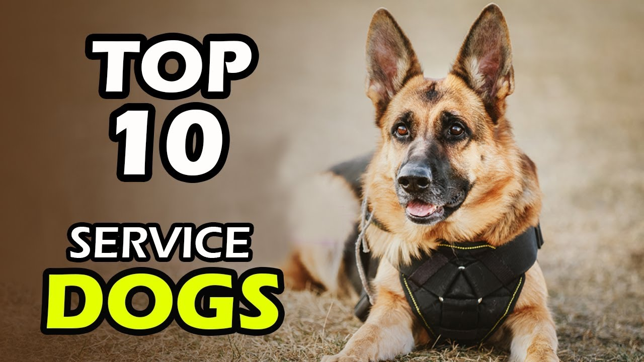 Top 10 Best Service Dog Breeds Youtube