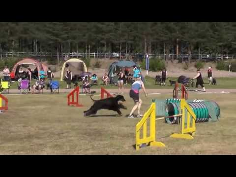 Afghan Hounds in Agility breed relay. Finlandia, 2013.