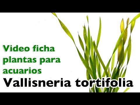 Vallisneria tortifolia - video fichas sobre plantas para acuarios