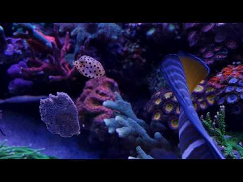 01-2017 | Food | Ostracion Cubicus (Boxfish) Eating Masstick