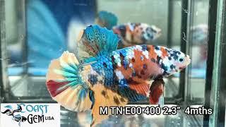 (TN-400) Candy Multicolour Gia…