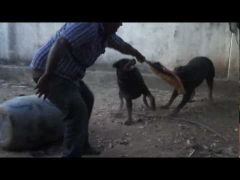 My Male Rottweiler Rambo-RANIPET