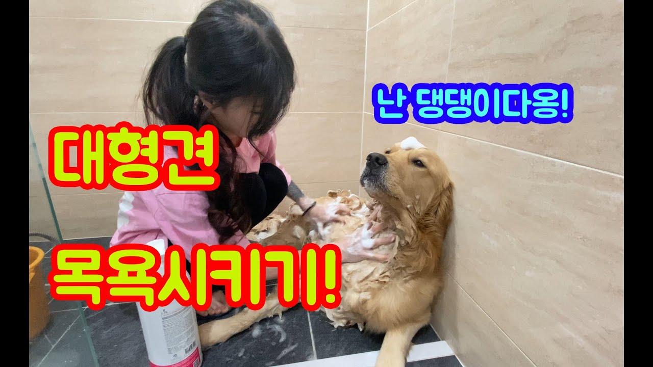 대형견 목욕시키는법?! 댕댕이 목욕시키기! (GOLDEN RETRIEVER PUPPY)