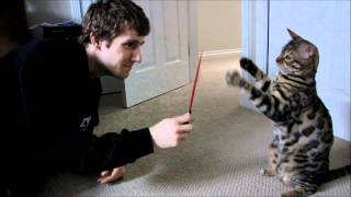 Bengal Cat Rocket Lightsaber Battle Linus Cat Tips