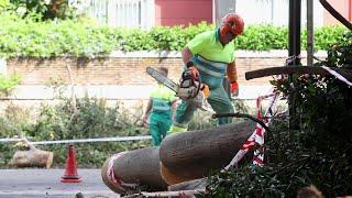 Retirada del emblemático árbol Ficus del Paseo de Reding derribado por el Dana en Málaga