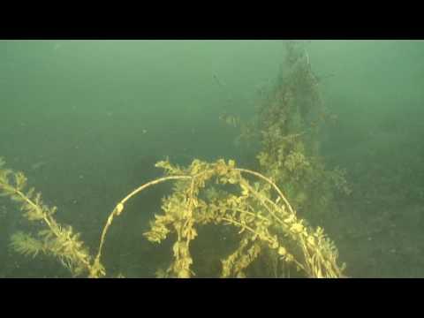 Frai des ombles au lac du Bourget - Savoie