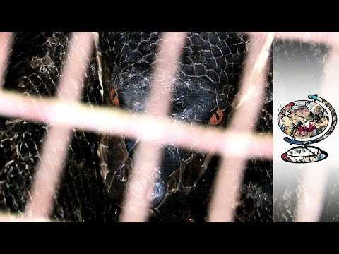 Inside Malaysia's Gruesome Snake Skin Trade (2014)