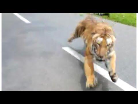 Reece - Tiger Attacks Man On Motorcycle