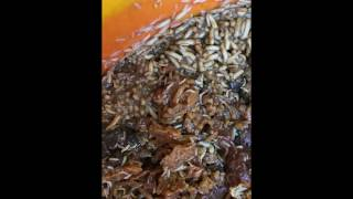 Maggot Infestation!