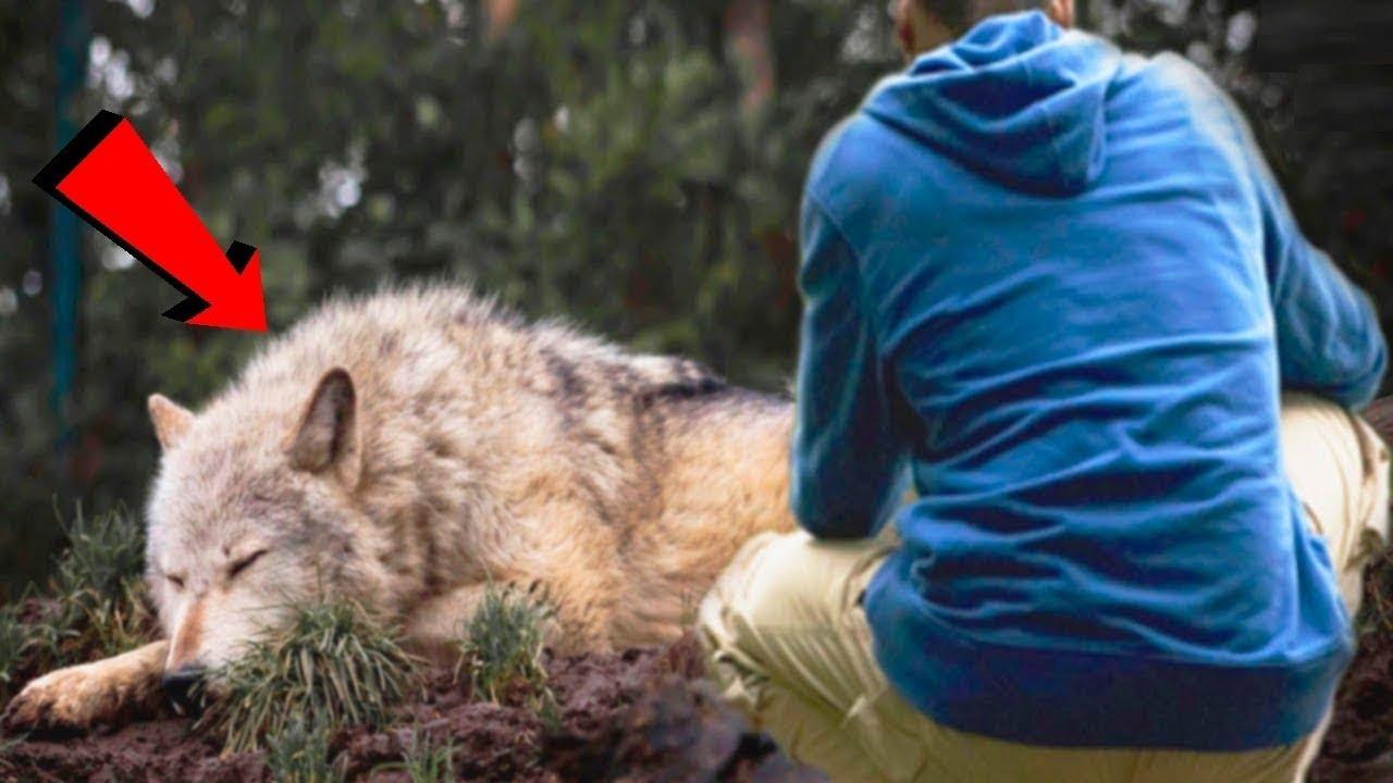 जब व्यक्ति ने एक भेड़िये की जान बचाई, बदले में उसे जो मिला, देखकर रो पड़ोगे A man saved a she wolf