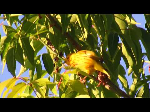 Yellow Warbler and American Redstart Warbler Song in Humber Trail