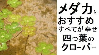 メダカのビオトープにおすすめ。幸せ四つ葉のクローバー!(商品紹介) 四つ葉のクローバー 検索動画 23