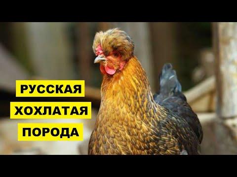 Разведение Русской Хохлатой породы кур как бизнес идея | Птицеводство | Русская Хохлатая курица