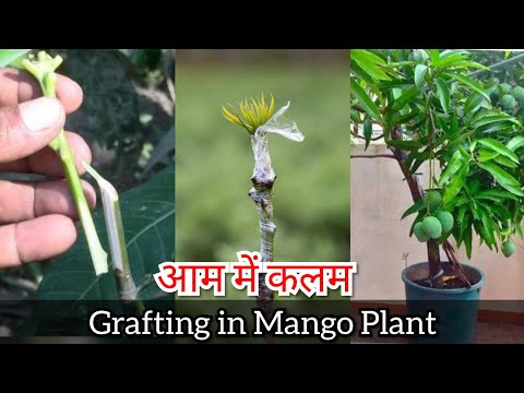 Germinating Mango Seeds, Which End To Plant Up? - YouTube  |Mango Seed Inside