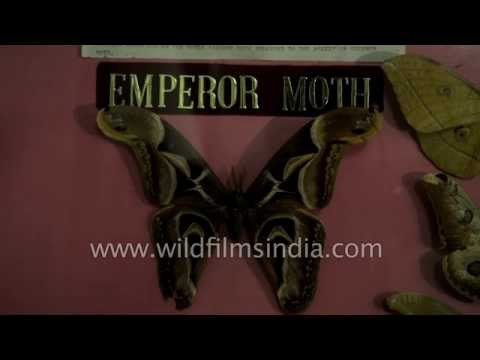 Emperor Moth from India
