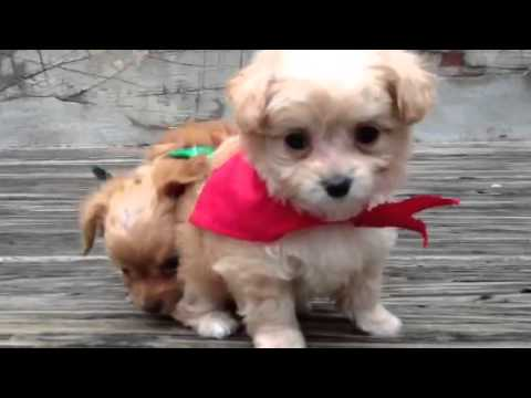 Chipoo Christmas Puppies Youtube