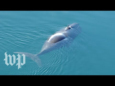 The jazz-like sounds of bowhead whales