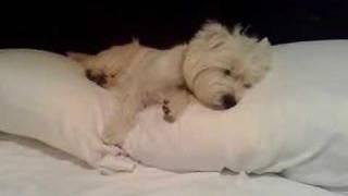 Chemo Westie Sleeping Cute
