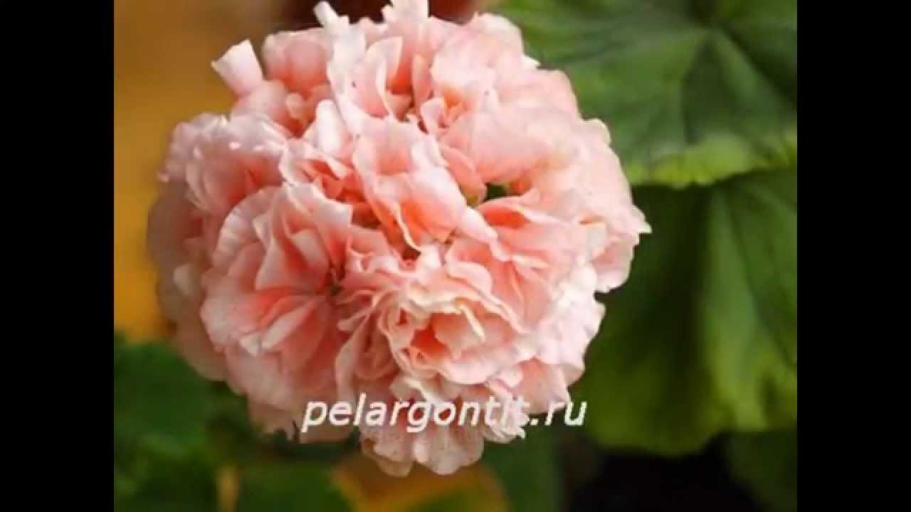 Как укоренить черенки королевской пеларгонии - YouTube
