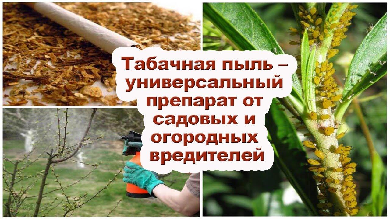 Как применять табачную пыль [Рецепт использования табачной пыли]