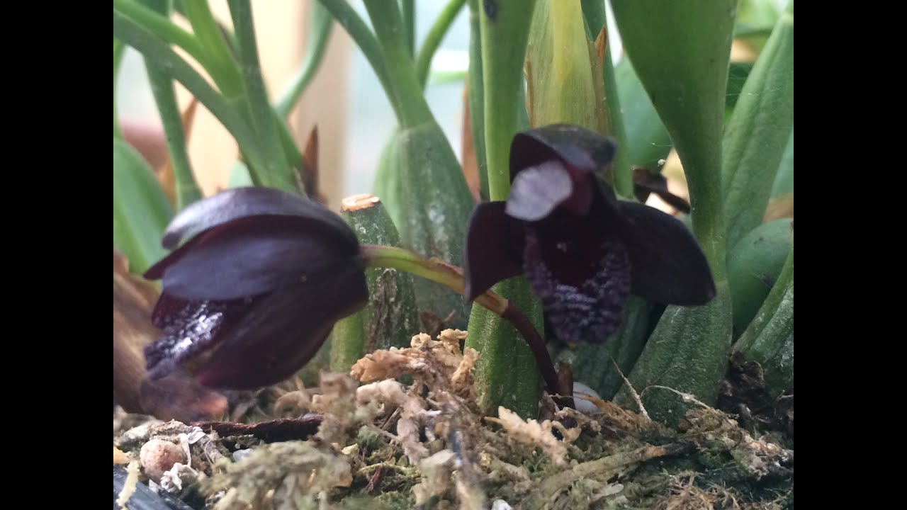 Black Orchid Flowers Maxillaria Schunkeana Tips To Bloom