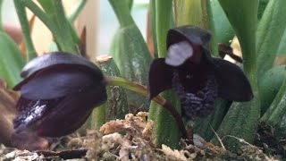 Black Orchid Flowers /Black Maxillaria schunkeana Orchid tips to bloom
