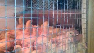 бройлеры 2 недели (клетка для подрощенных цыплят)