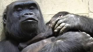 Uzumma and her 5-day-old baby gorilla.