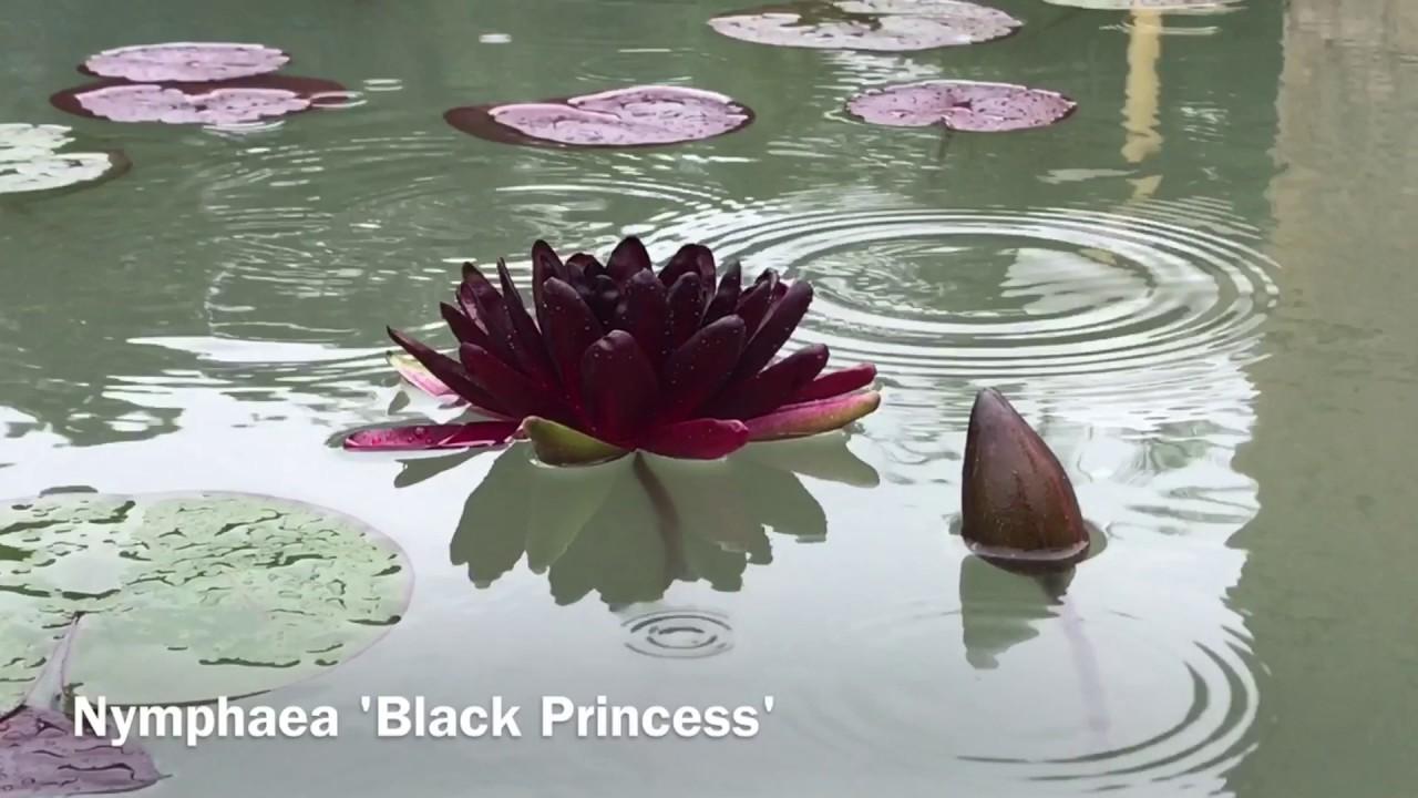 Nymphaea Black Princess Youtube