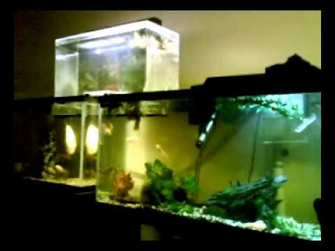Awesome tank setup with connected aquariums amazon 115 for Connecting fish tanks