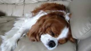 Sleeping Cavalier King Charles Spaniel