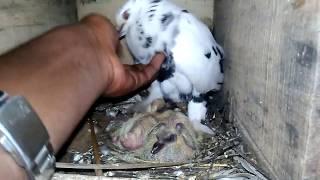 Intha pigeon ku iwlo kovam chick ah thotta || pigeon baby birth || wonderpets.