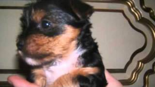 Yorkshire Terrier Welpen In Dierdorf