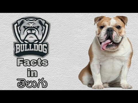 Bulldog Dog Facts In Telugu | Popular dog breed | Taju logics