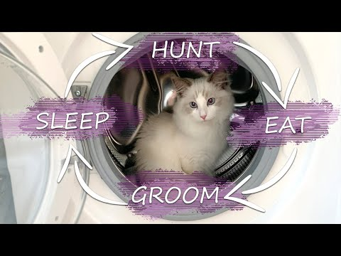 A Day In Life With A Ragdoll Cat: KITTEN Vlog