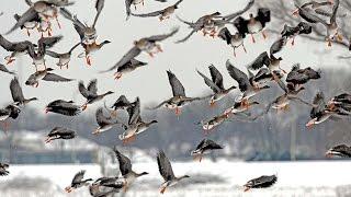 Охота на гуся 2017 в Саратовской области