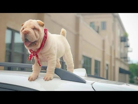 Shar Pei : Cutest Dog Breed