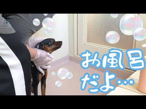 【ミニピン】ジロが臭いから丸洗いするよ!【ミニチュアピンシャー】