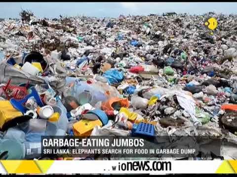 Sri Lanka garbage eating jumbos in search of food