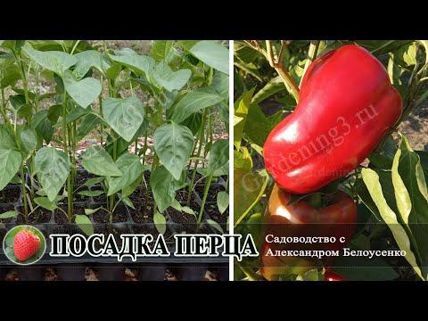 Посадка болгарского перца в открытый грунт Что делать если рассаду не успели закалить перед посадкой | садоводство | болгарского | александром | белоусенко | открытый | посадка | перца | грунт | гр | с