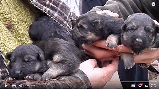 Щенки немецкой овчарки 1 неделя. German Shepherd Puppies 1 week. Одесса.