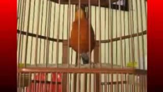 Kicau Mania | Suara Burung Anis Cacing