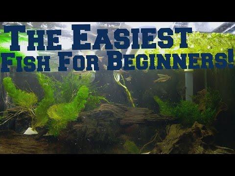 Easiest Beginner Fish! White Cloud Mountain Minnow.