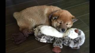 Funny and Cute Dog Videos and Pictures - Shiba Inu Daisy's 1 Year Birthday Story