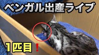ベンガル猫の出産です。 1匹目の赤ちゃん(子猫)が無事産まれました❗️ 2匹目の陣痛まで時間かかると思うので陣痛始まるまで生配信です  ...