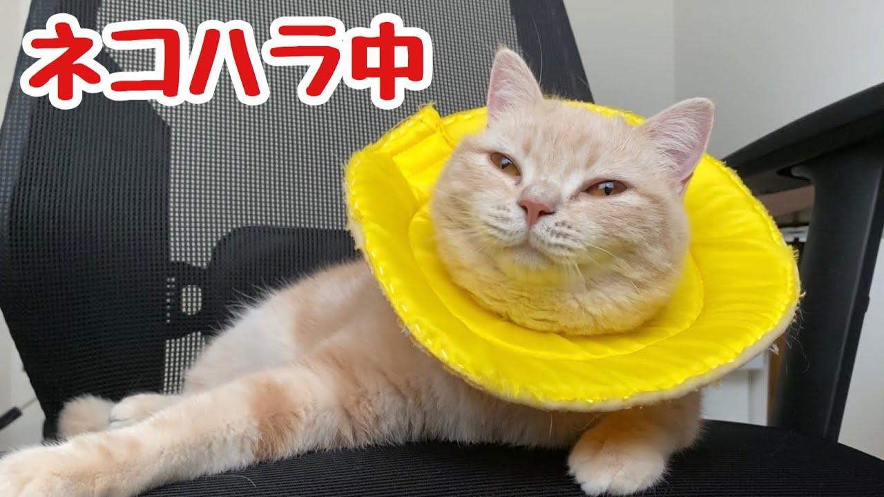 【ネコハラ】飼い主が仕事を始めるとすぐに邪魔しにくる猫www Cats that disturb you when you work!Cute animals