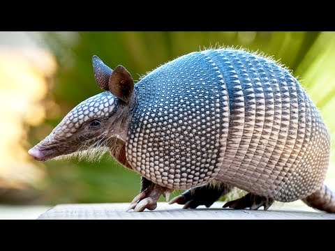 Armadillo the strange animal of south america